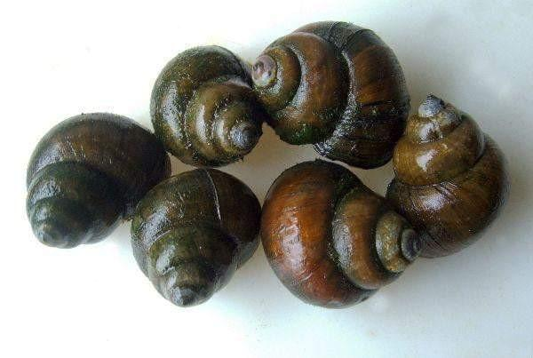 Black Japanese Trapdoor Snails (Viviparis malleatus)  ***Taking Pre-Orders Now - Smith Creek Fish Farm