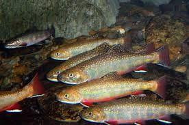Trout-Brook, Brown, Rainbow and Tiger HATCHERY PICK-UP ONLY - Smith Creek Fish Farm