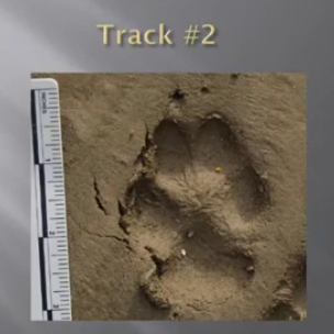 An unknown animal track