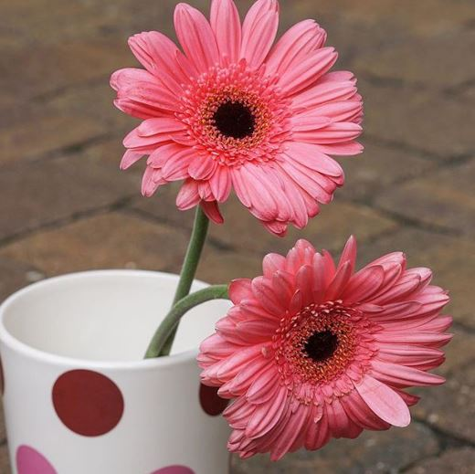 183 pink sunflowers mugs and muscle ups boxstar apparel what do the flowers represent what does the mug represent what kind of flowers are those even pink sunflowers mightylinksfo