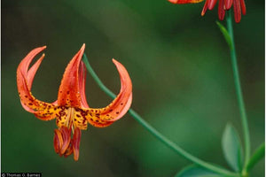 Michigan Lily (Lilium michiganense)