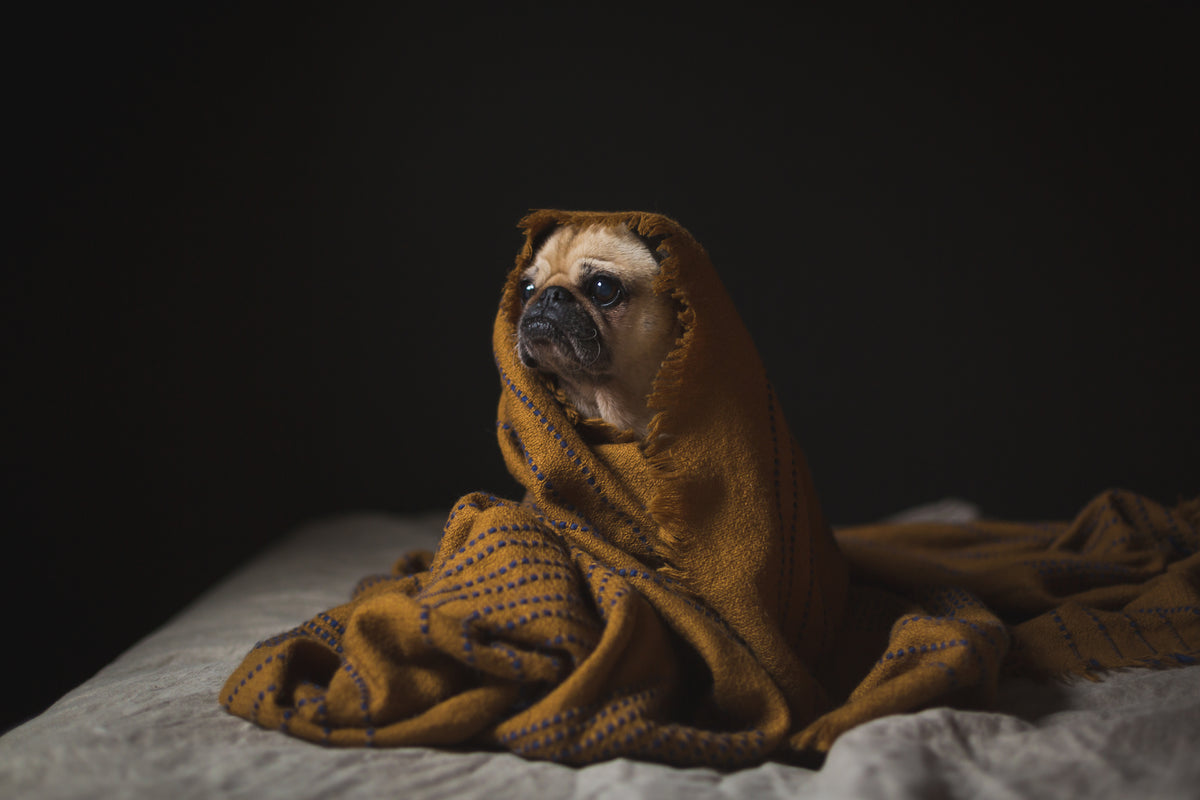 Pug dog wrapped in brown blanket.