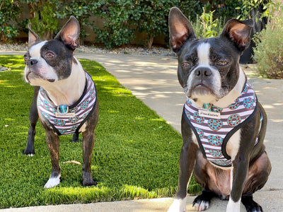 French Bulldog Harness | Versatile Health Harness | Frenchie Love