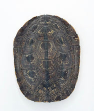 Load image into Gallery viewer, Golden Coin Turtle Male ID#GCTM01