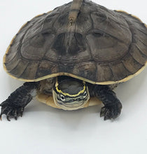Load image into Gallery viewer, Malaysian Box Turtle
