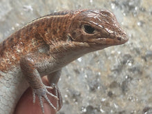 Load image into Gallery viewer, Rainbow Plated Lizard #RPLU01