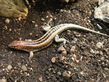 Load image into Gallery viewer, Rainbow Plated Lizard #RPLU02