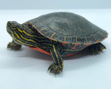 Load image into Gallery viewer, Western Painted Turtle