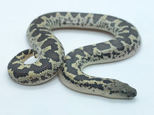 Load image into Gallery viewer, Rough scale sand boa male #RSSBM01