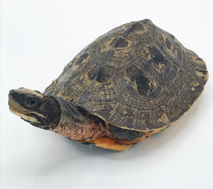 Golden Coin Turtle Male ID#GCTM01