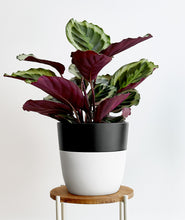Load image into Gallery viewer, Calathea