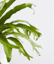 Load image into Gallery viewer, Bird's Nest Fern