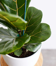 Load image into Gallery viewer, Fiddle-Leaf Fig