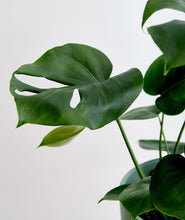 Load image into Gallery viewer, Monstera
