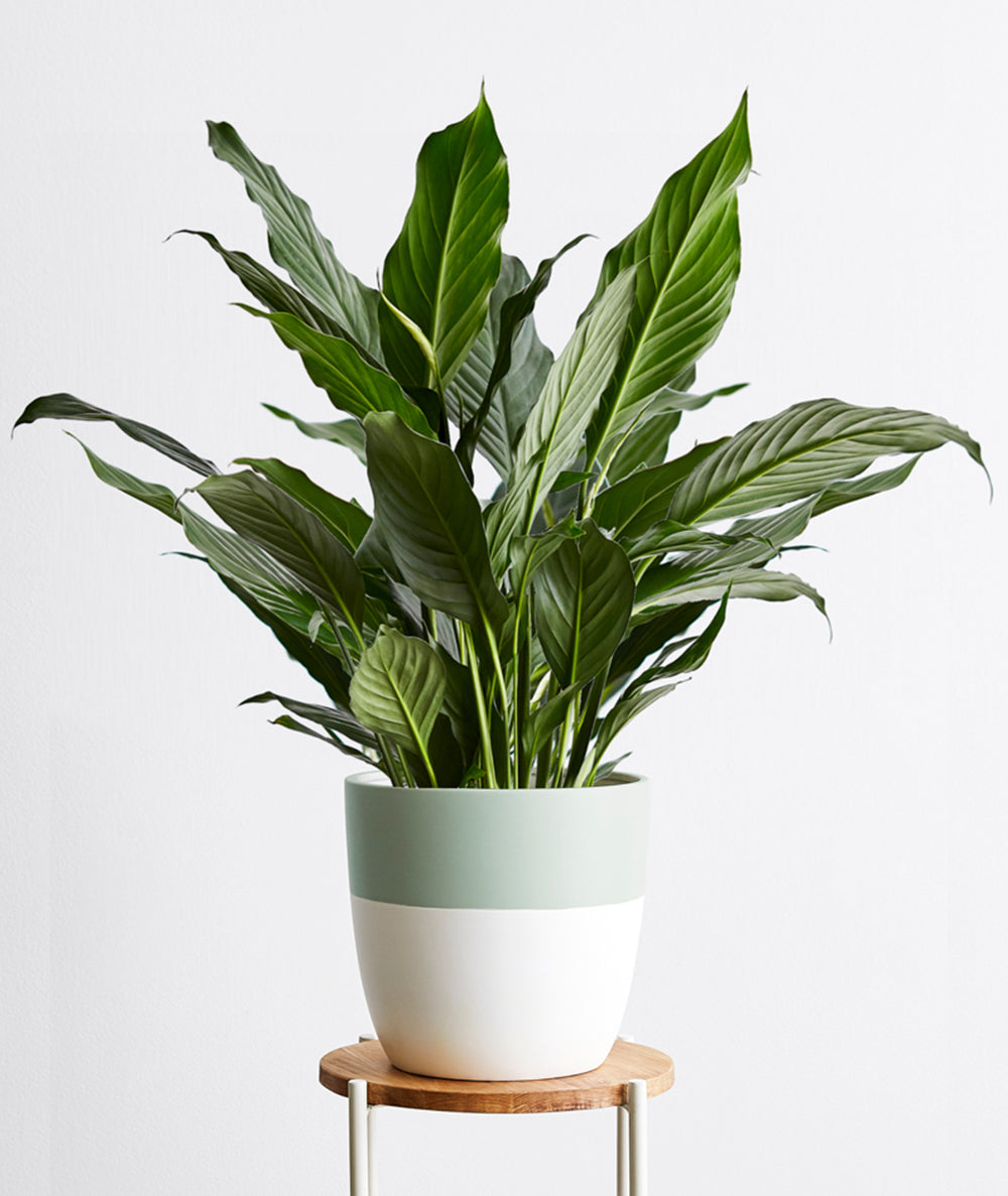 Peace Lily, Spathiphyllum | Ansel & Ivy - Potted Plants, Delivered