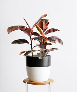 Ruby Rubber Tree