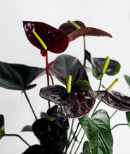 Load image into Gallery viewer, Black Love Anthurium