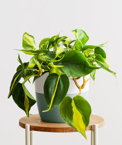 Brasil Philodendron