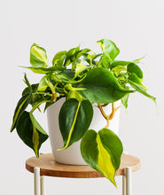Load image into Gallery viewer, Brasil Philodendron