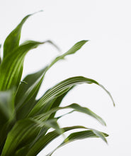 Load image into Gallery viewer, Dracaena