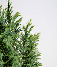 Load image into Gallery viewer, European Cypress