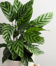 Load image into Gallery viewer, Freddie Calathea