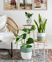Load image into Gallery viewer, Golden Snake Plant