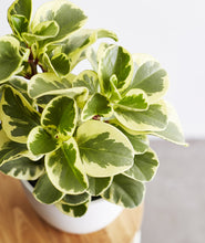 Load image into Gallery viewer, Green Gold Peperomia