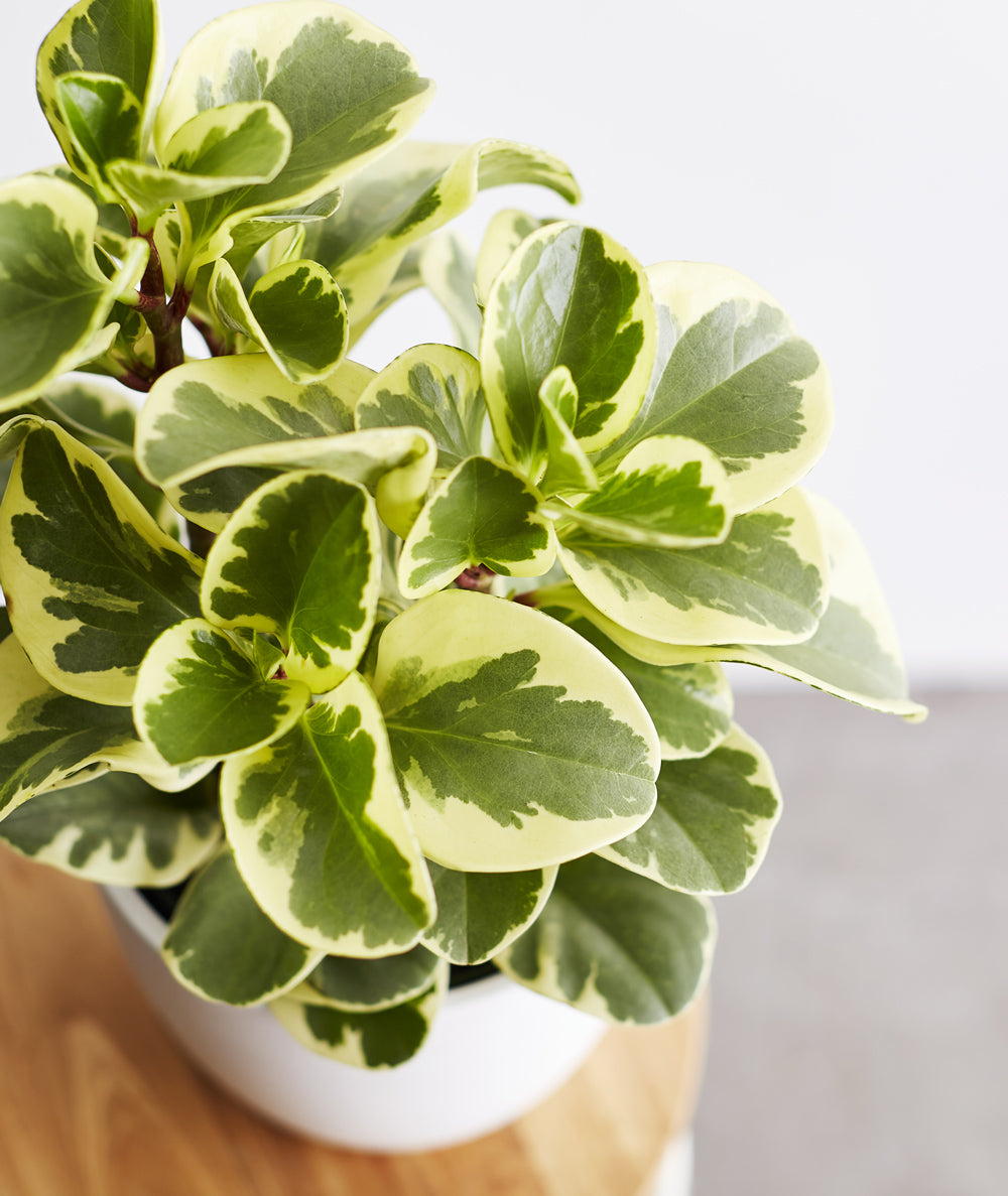 Green Gold Peperomia Ansel Ivy Potted Plants Delivered