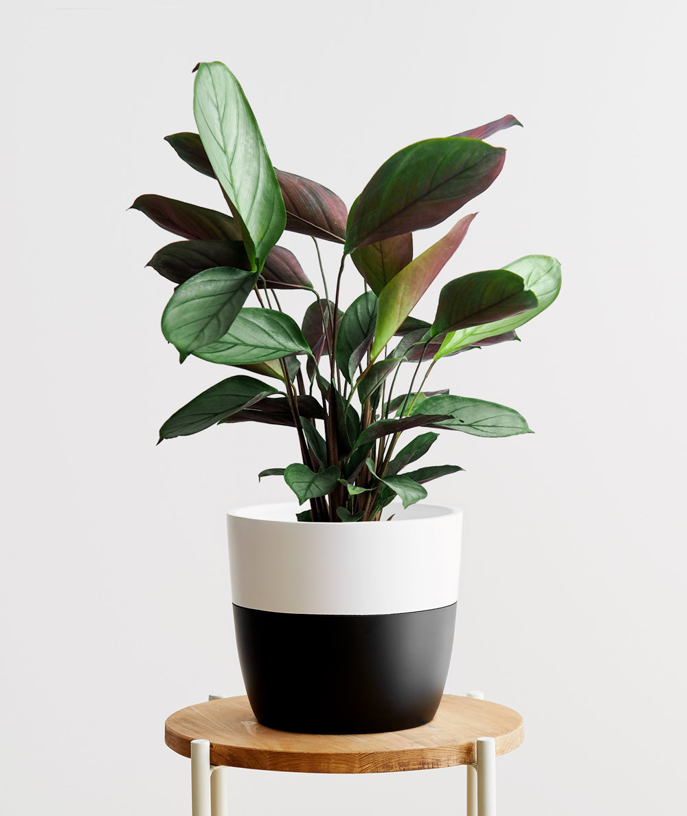Grey Star Calathea