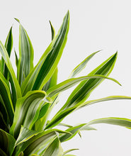 Load image into Gallery viewer, Lemon Lime Dracaena