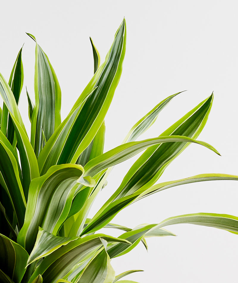Lemon Lime Dracaena