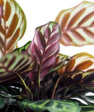 Load image into Gallery viewer, Peacock Calathea