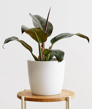 Load image into Gallery viewer, Rojo Congo Philodendron
