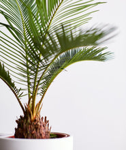 Load image into Gallery viewer, Sago Palm
