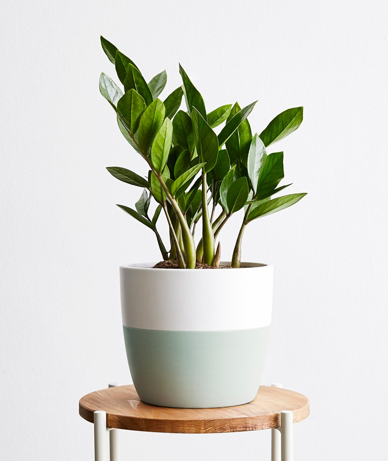 ZZ Plant | Ansel & Ivy - Premium Potted Plants, Delivered