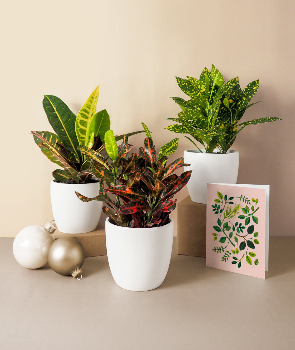 Merry Crotons Gift Set
