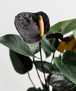 Black Love Anthurium
