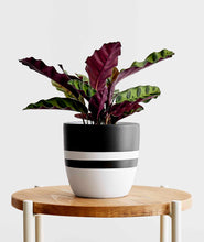 Load image into Gallery viewer, Rattlesnake Calathea