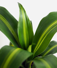 Load image into Gallery viewer, Cornstalk Dracaena