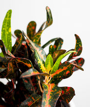 Load image into Gallery viewer, Colorful Crotons Set