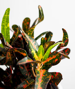 Colorful Crotons Set