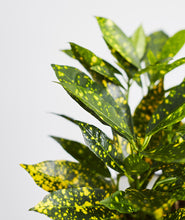 Load image into Gallery viewer, Croton Gold Dust