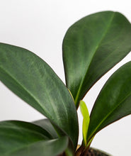 Load image into Gallery viewer, Peperomia Pair