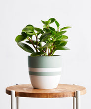 Load image into Gallery viewer, Peperomia