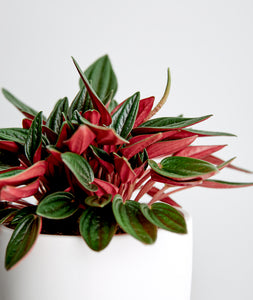 Rosso Peperomia