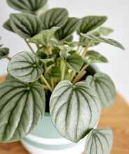 Load image into Gallery viewer, Silver Ripple Peperomia
