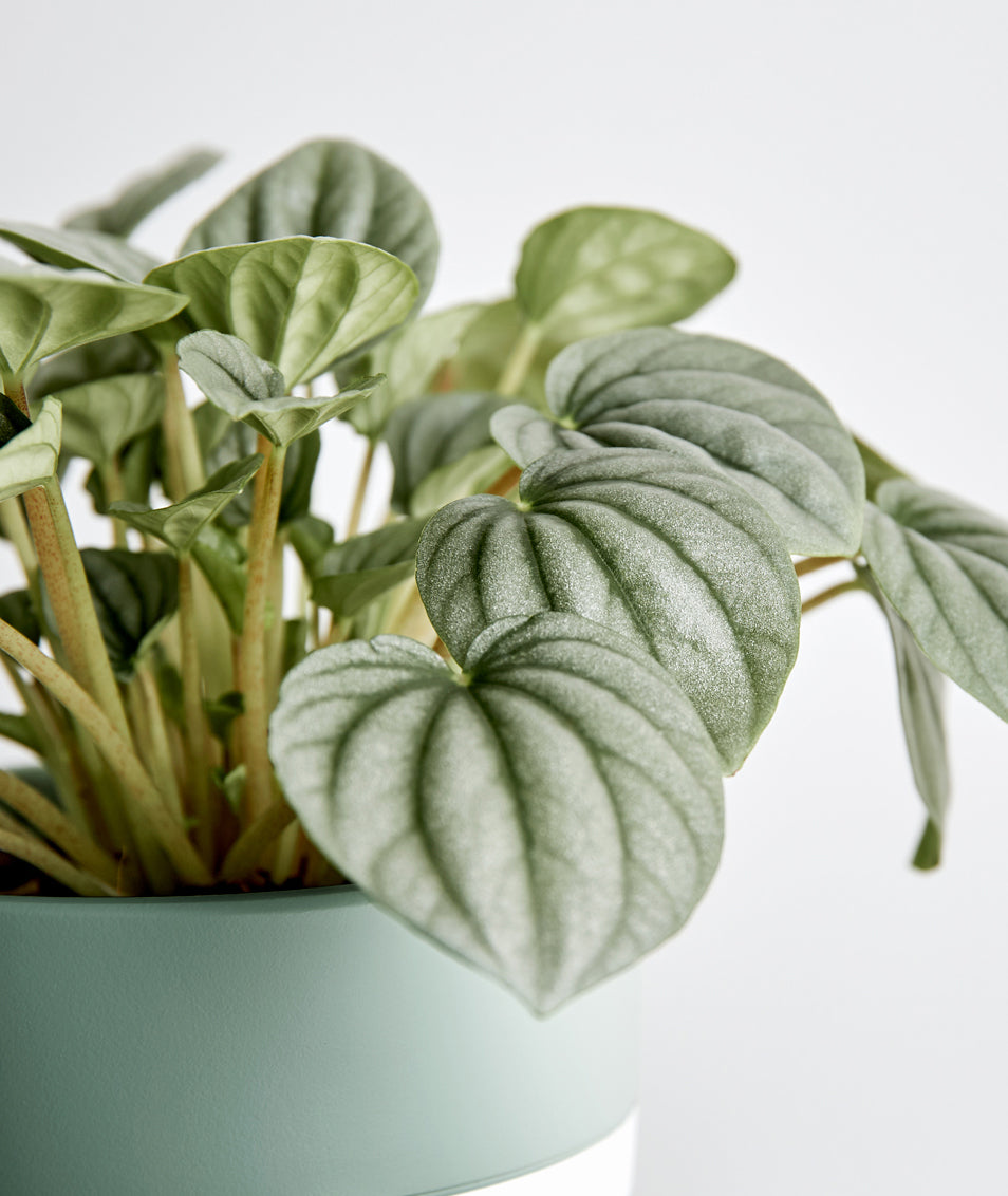 Silver Ripple Peperomia Ansel Ivy Potted Plants Delivered