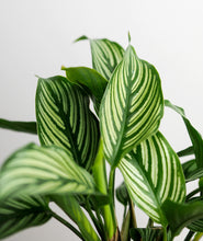 Load image into Gallery viewer, Vittata Calathea