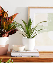 Load image into Gallery viewer, Warneckii Dracaena